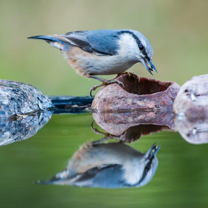 五子雀在池塘的` s抓住 免版税库存照片