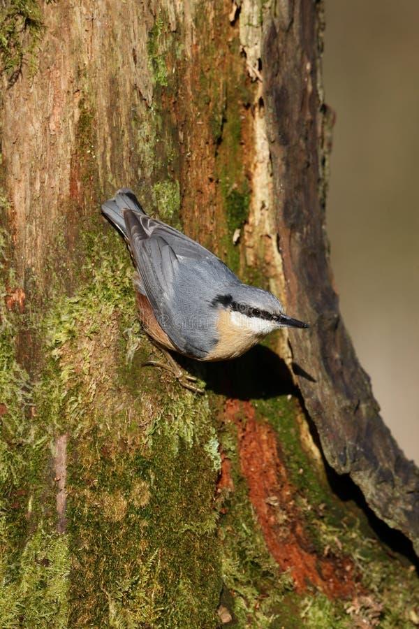 五子雀,五子雀类europaea 图库摄影