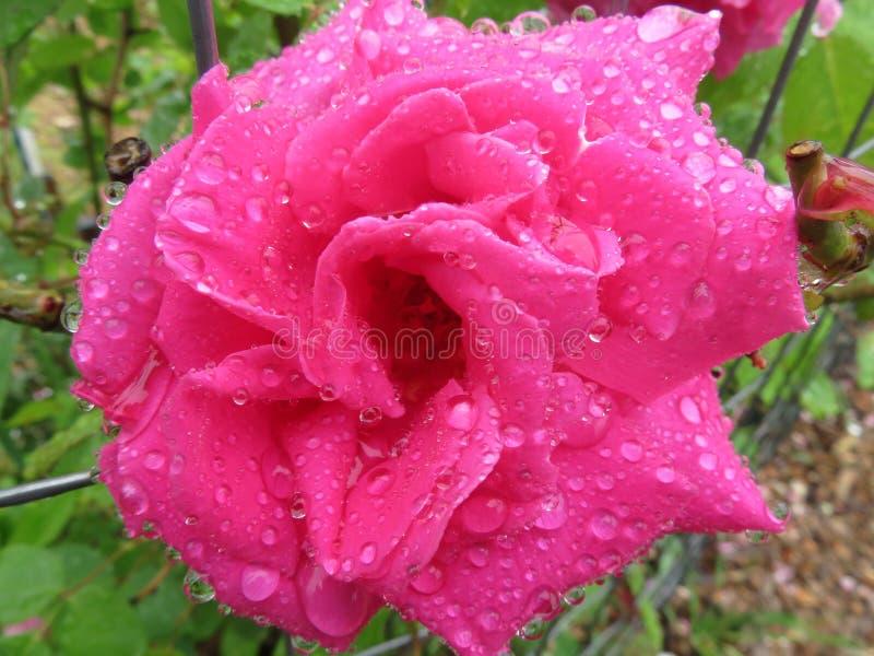 五月雨中浸透粉红玫瑰 免版税库存图片