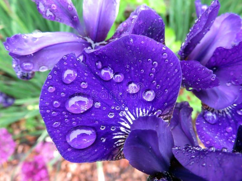 五月雨中的紫鸢花瓣 免版税库存照片