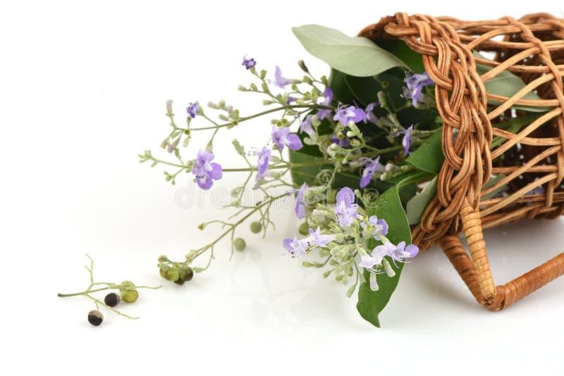 五有叶的纯洁树,中国纯洁,印地安privet, Negundo胸口坚果(Vitex trifolia Linn ) 免版税库存图片