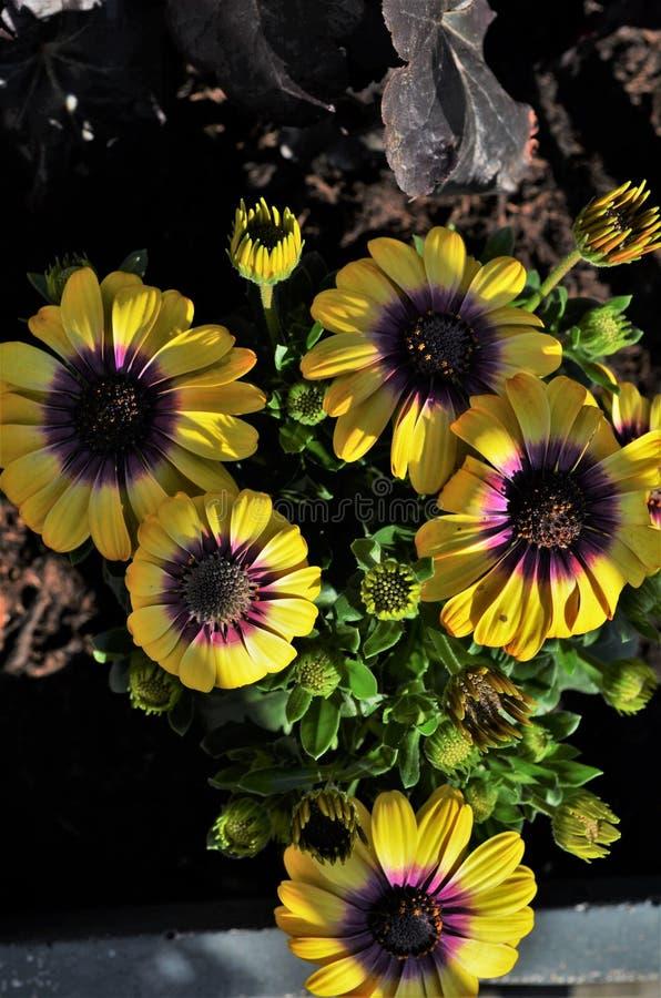 五朵美丽的黄色和紫罗兰色海角雏菊花 免版税库存图片