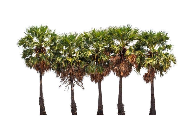 五棵树头梭flabellifer树 库存图片