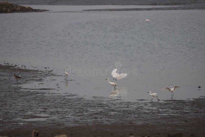 五白鹭和一Curle在低潮渤海期间 免版税库存照片
