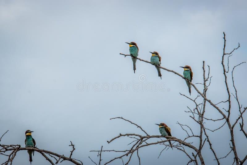五群欧洲食蜂鸟坐分支 库存图片