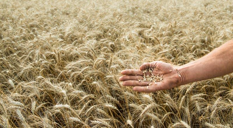 五谷种植者的手反对一个小麦领域的 库存照片