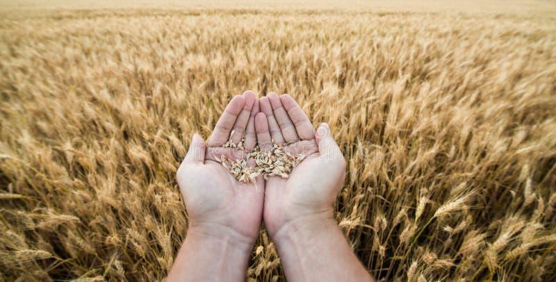 五谷种植者的手反对一个小麦领域的 免版税库存图片