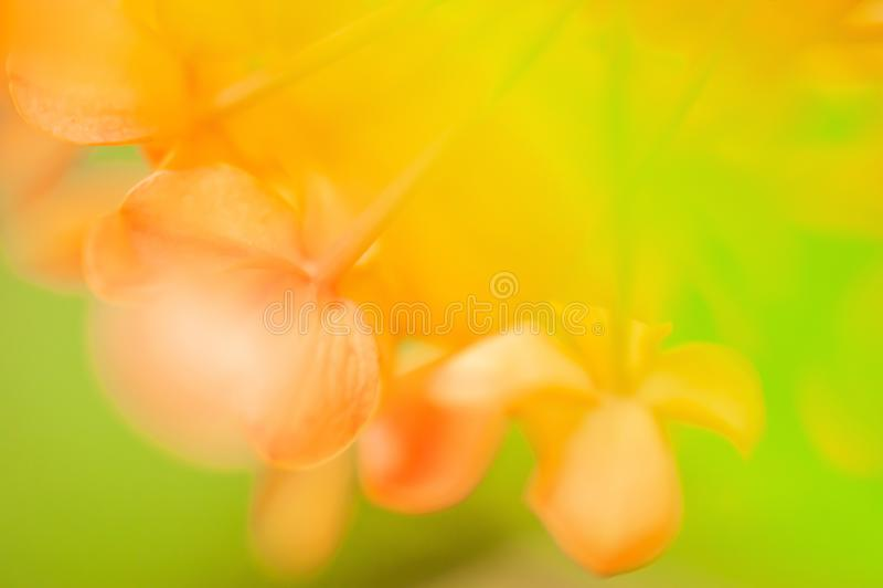 五颜六色夏天,在Ashoka花的软的焦点在绽放,抽象形状,并且甜颜色,绿色叶子弄脏了背景 库存照片