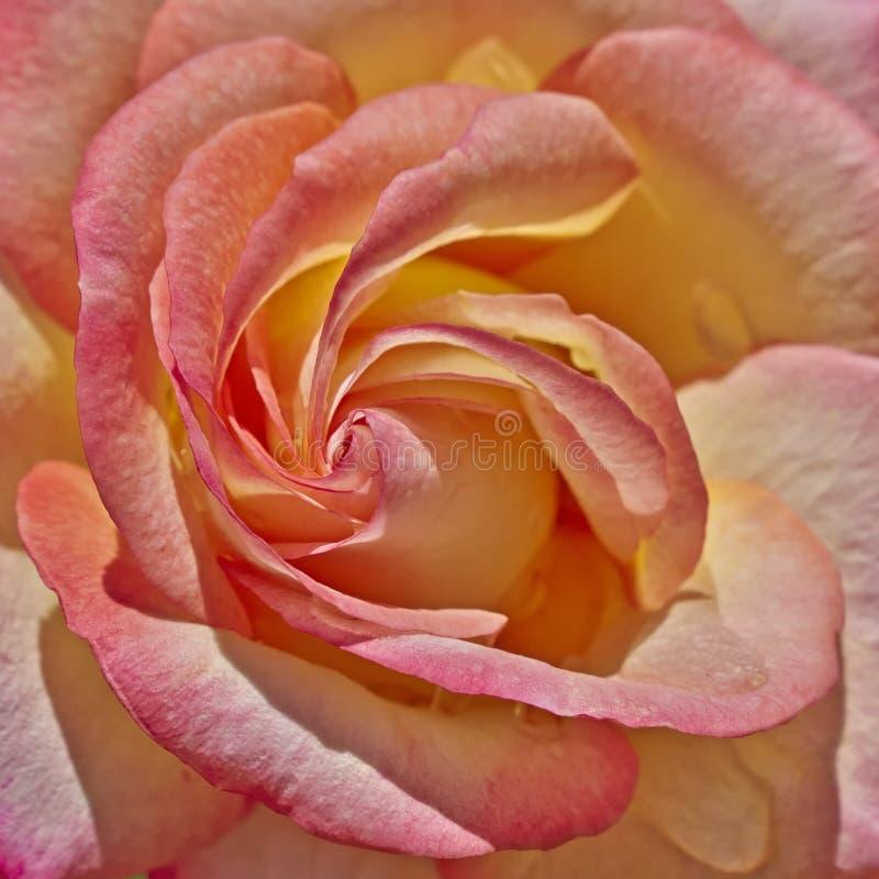 五颜六色弄湿玫瑰色 库存图片