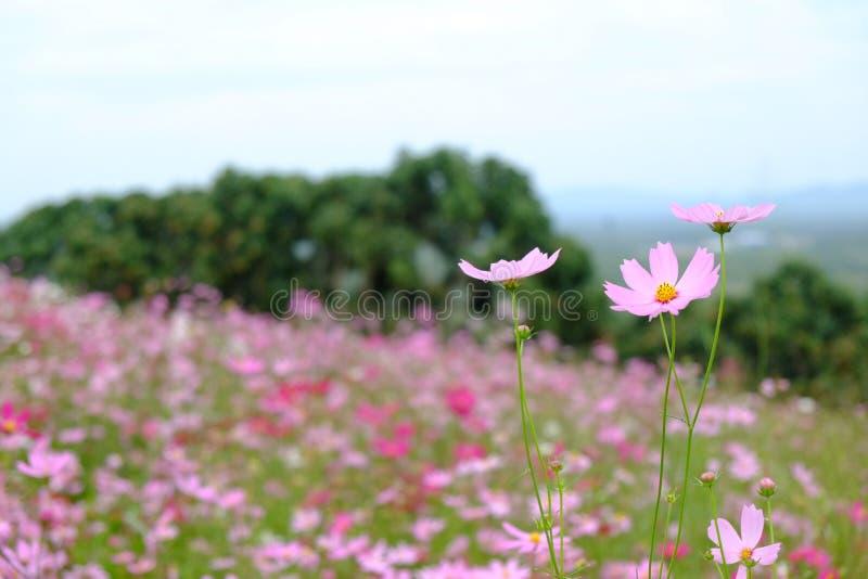 五颜六色波斯菊花园 免版税库存图片