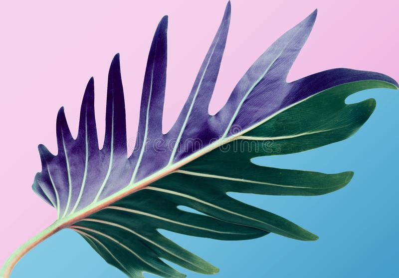 五颜六色热带monstera在淡色背景离开 自然 免版税库存照片