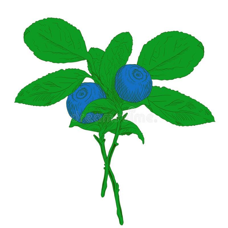 五颜六色的传染媒介蓝莓手拉的分支用两个莓果 库存例证