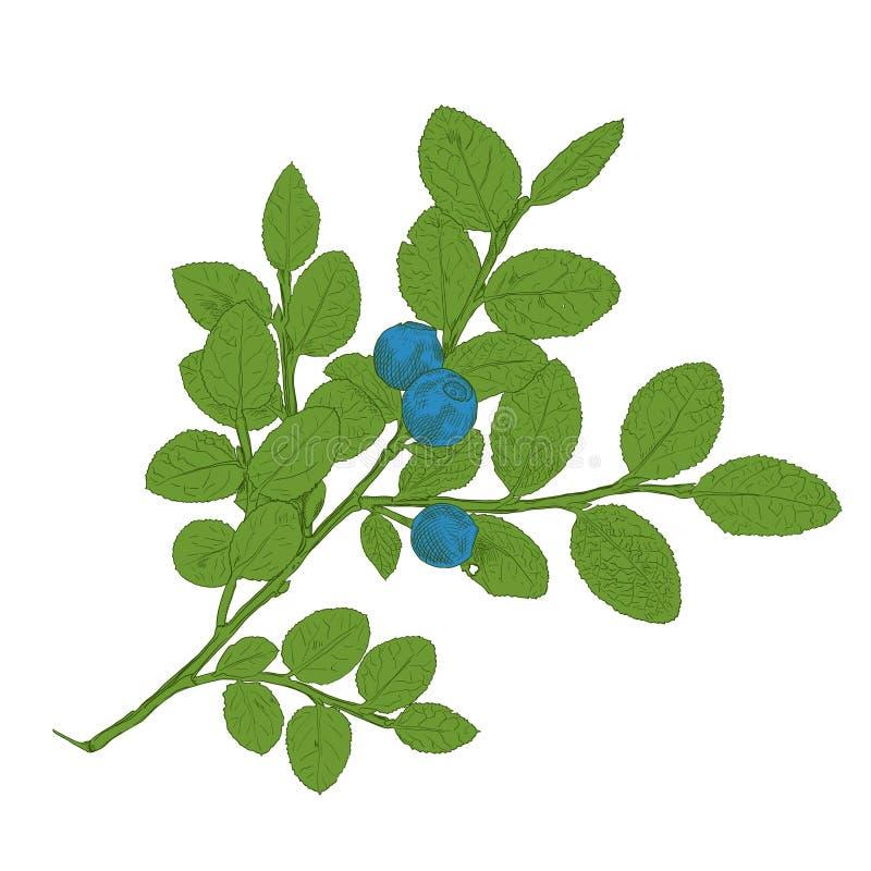 五颜六色的传染媒介蓝莓手拉的分支  皇族释放例证