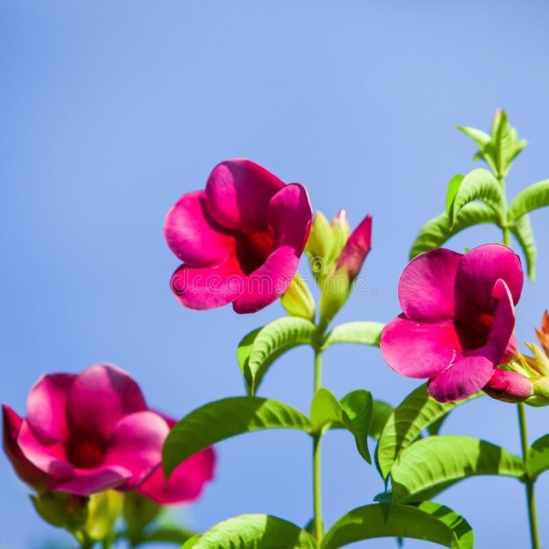五颜六色的冬天,流行粉红花在晴朗,明亮和美丽的开花的流行粉红花的绽放与在蓝色的绿色叶子 免版税图库摄影