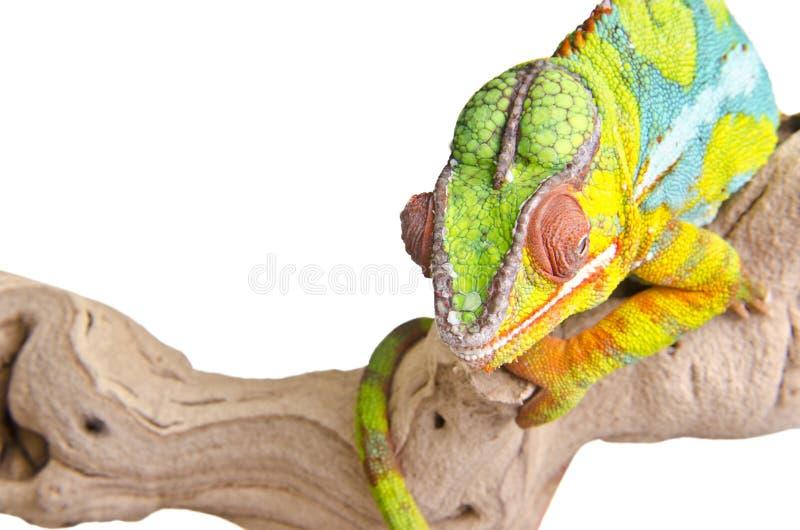 五颜六色的变色蜥蜴 免版税库存图片