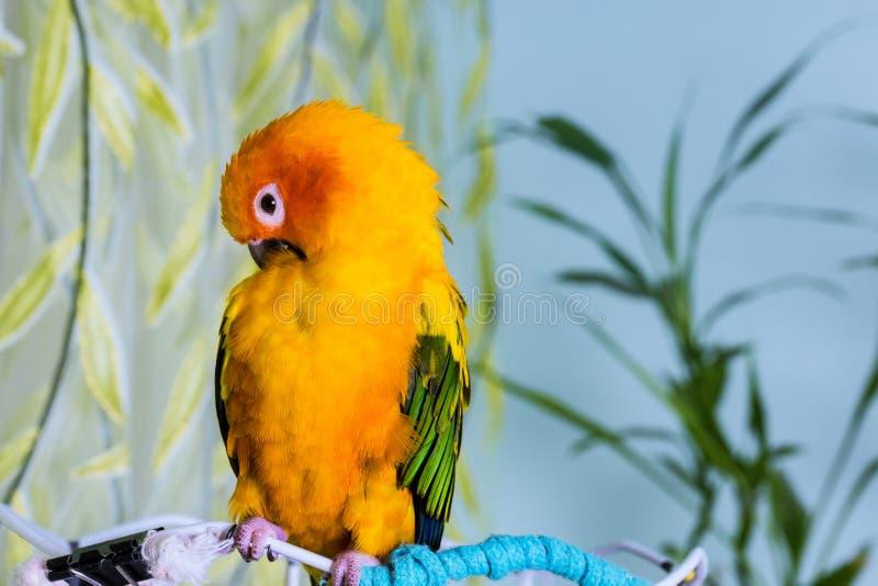 五颜六色的可爱的太阳conure鹦鹉开会 免版税库存图片