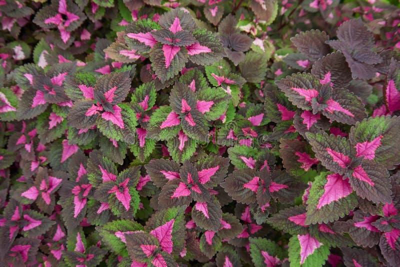 五颜六色的叶子、锦紫苏混合或者火焰荨麻 免版税库存照片