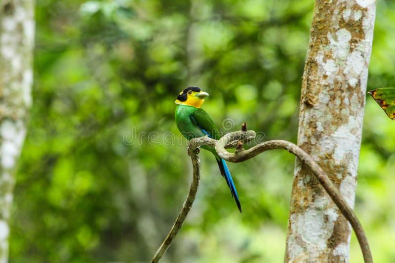 五颜六色的在树枝的鸟长尾的broadbill 图库摄影