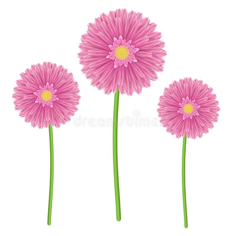 五颜六色的大丁草花坚硬的桃红色和绿色 皇族释放例证