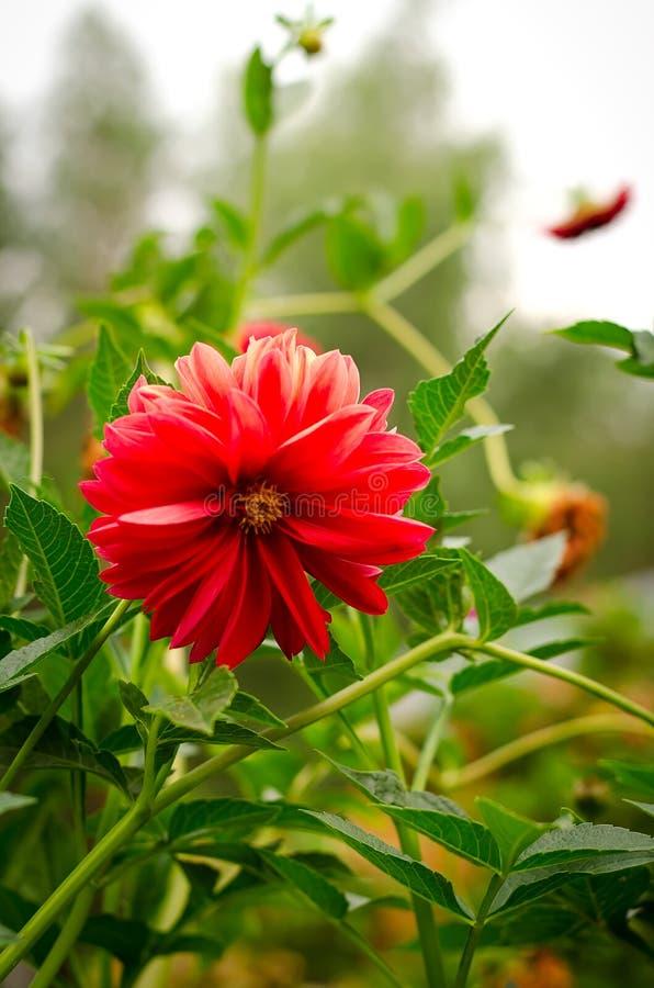 五颜六色的大丽花花红色在秋天庭院里 库存图片