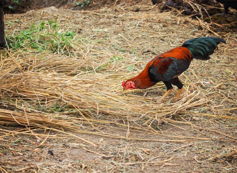 五颜六色的好斗的公鸡站立和发现在地面上的食物 免版税库存照片