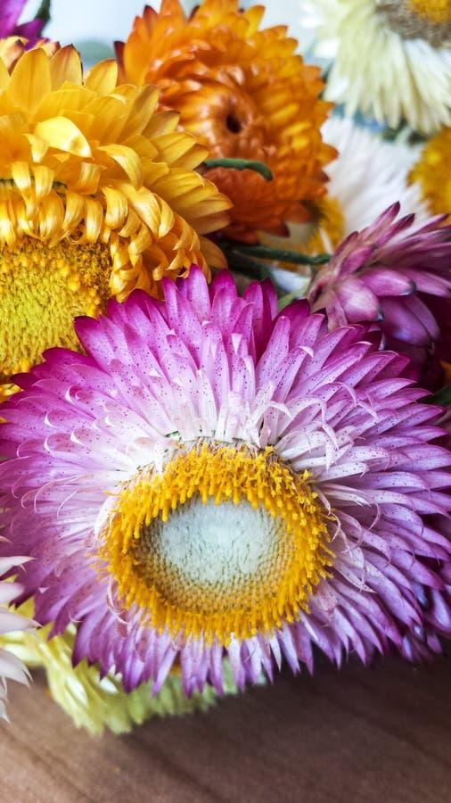 五颜六色的干永恒秸杆开花特写镜头 纸雏菊 库存图片