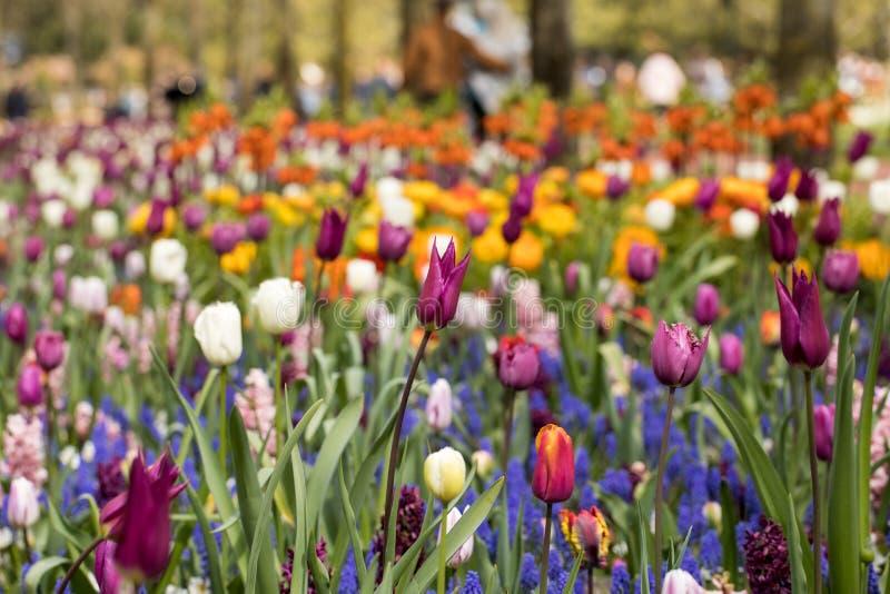 五颜六色的开花在庭院里的郁金香和蓝色风信花 免版税图库摄影