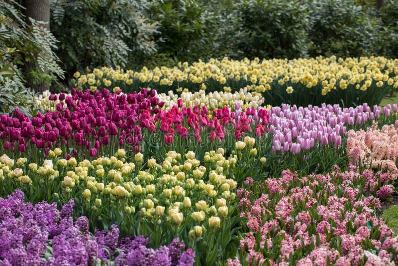 五颜六色的开花在庭院里的风信花和郁金香 库存图片