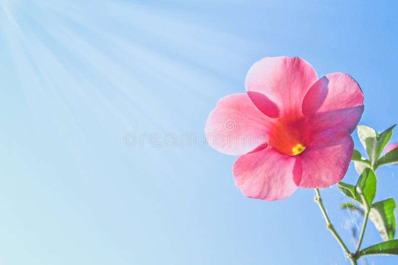 五颜六色的开花在明亮的天空蔚蓝背景的花桃红色黄蔓 库存图片