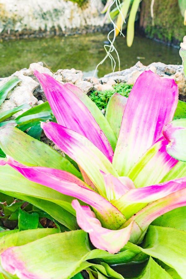 五颜六色的开花的bromeliad植物 免版税库存照片