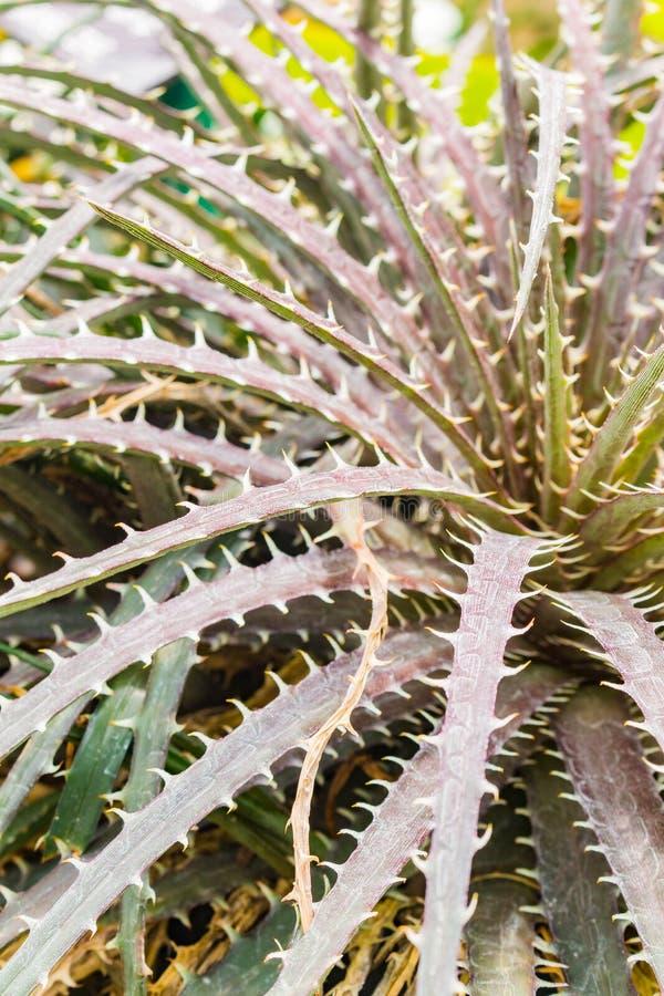 五颜六色的开花的bromeliad植物 库存照片