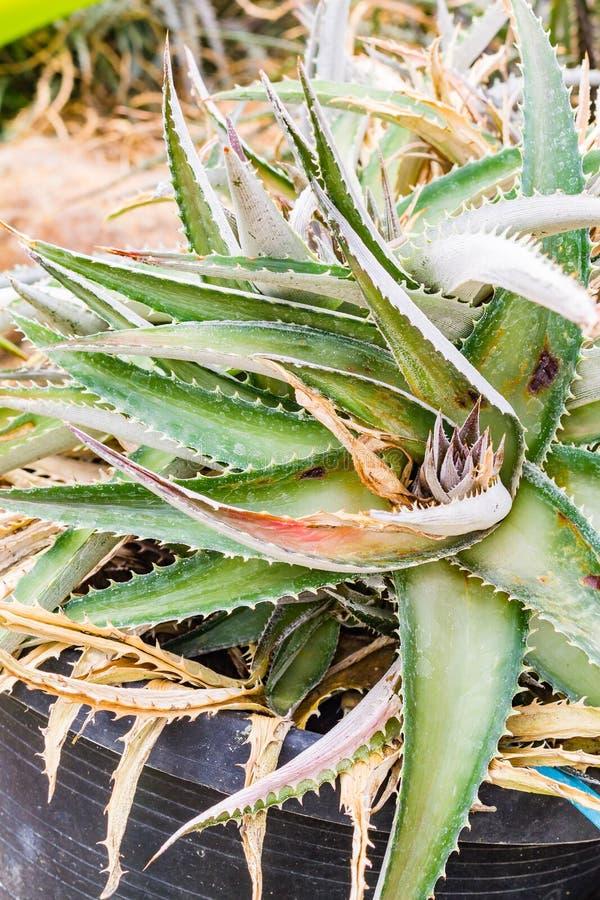 五颜六色的开花的bromeliad植物 库存图片