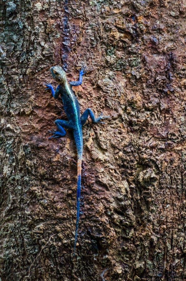 五颜六色的异乎寻常的蜥蜴坐巨大的热带树在尼日利亚,非洲的雨林里 库存照片
