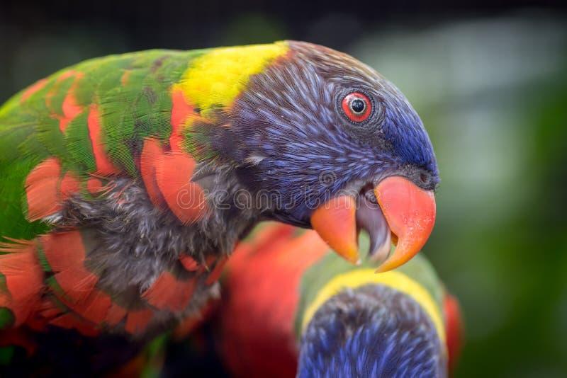 五颜六色的彩虹lorikeet Lorinae画象  免版税库存图片