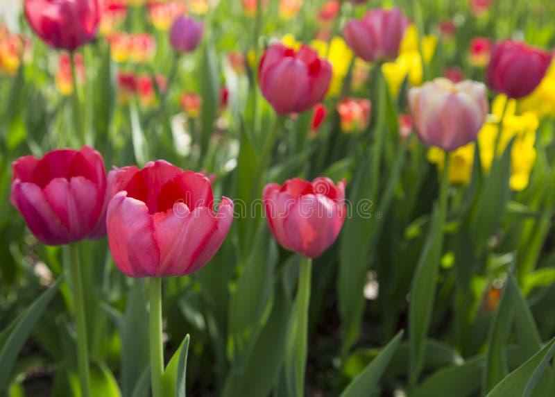 五颜六色的新春天郁金香花自然风景背景 免版税库存照片