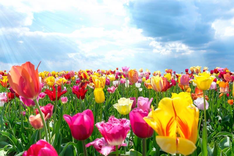 五颜六色的新鲜的郁金香在温暖的阳光下 免版税库存图片