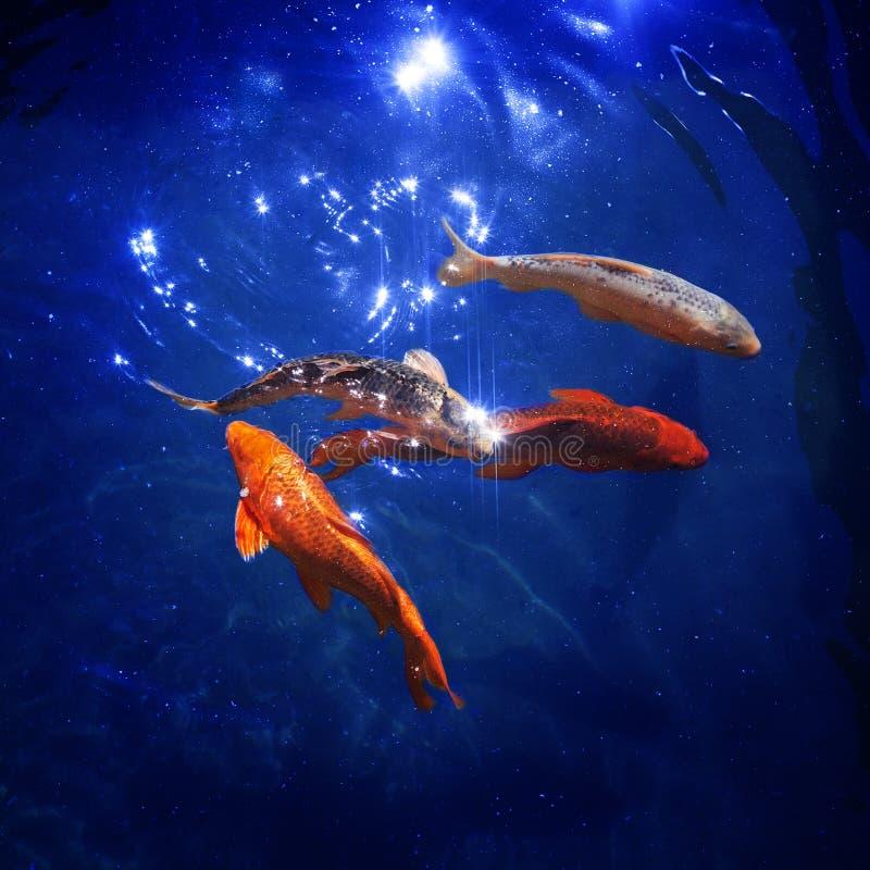 五颜六色的日本koi鲤鱼在池塘关闭在蓝色光亮的水,美丽的热带金黄鱼中游泳,金鱼潜水在海 库存例证