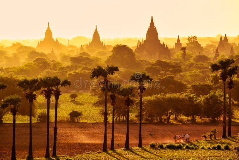 五颜六色的明亮的日出与寺庙、领域和工作的牛, Bagan 免版税图库摄影
