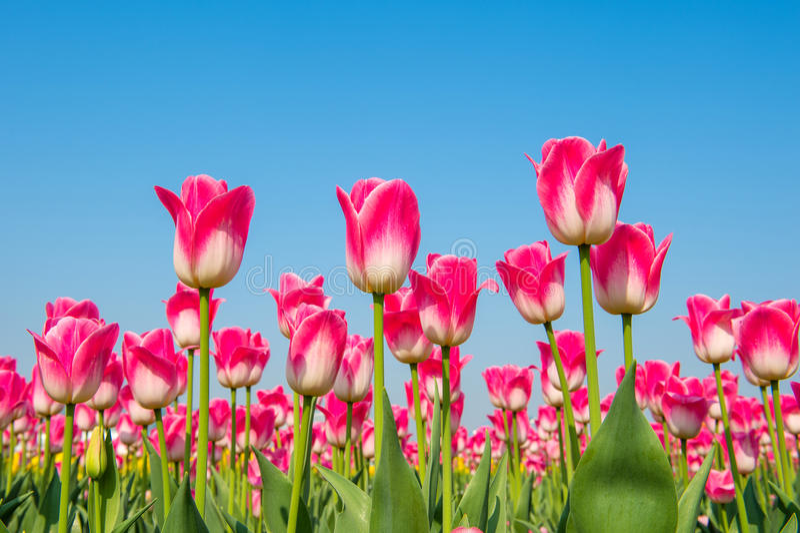 五颜六色的春天郁金香 免版税库存照片