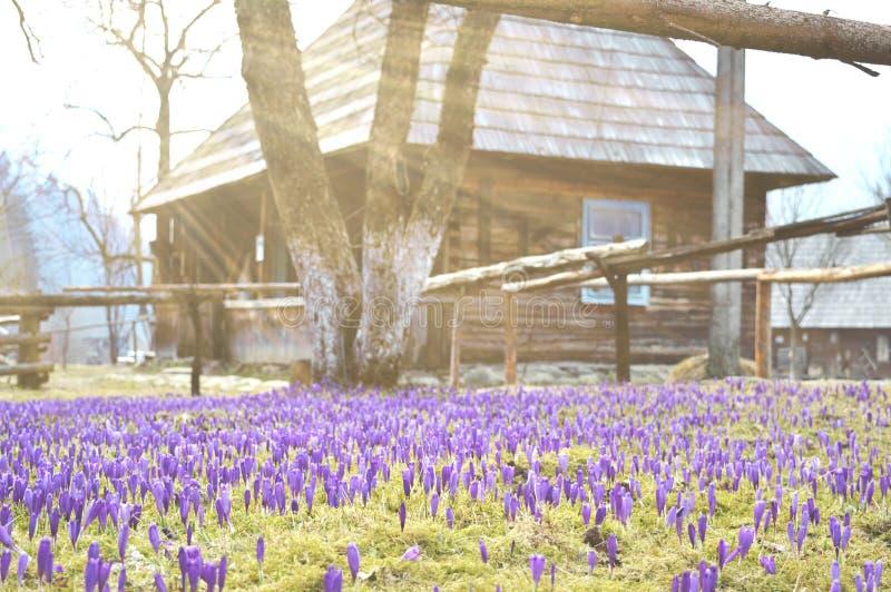 五颜六色的春天风景在有开花的番红花的领域的乌克兰村庄 免版税库存图片