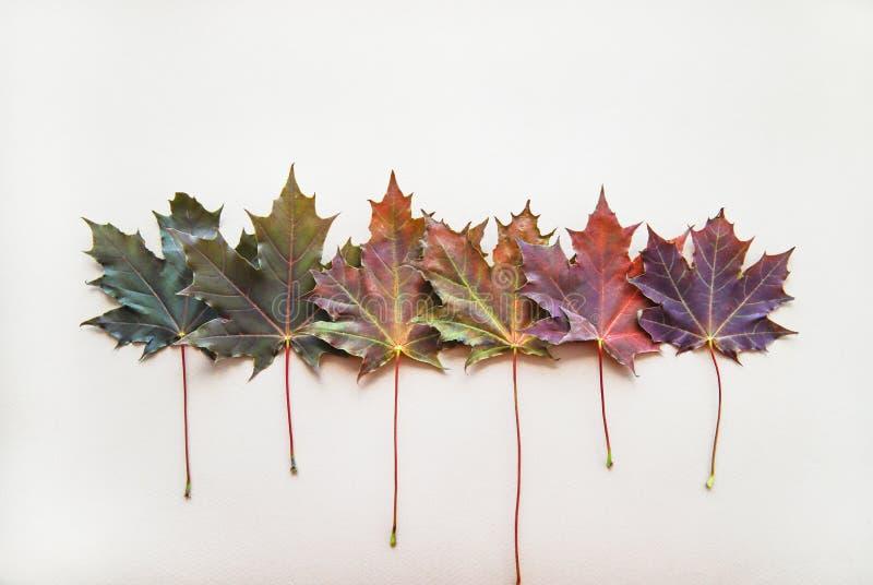 五颜六色的枫叶连续排行了 库存照片