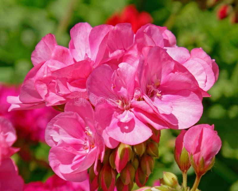 五颜六色的桃红色大竺葵花在庭院里 免版税库存图片