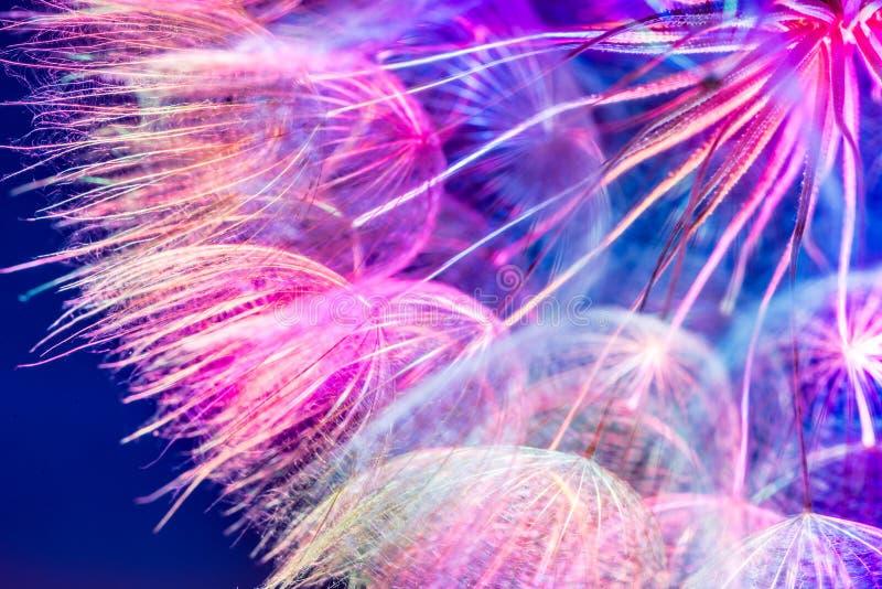 五颜六色的桃红色淡色背景-生动的抽象蒲公英flowe 免版税库存照片