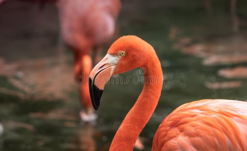 五颜六色的桃红色火鸟,被弄脏的背景顶头被射击的特写镜头  免版税库存图片