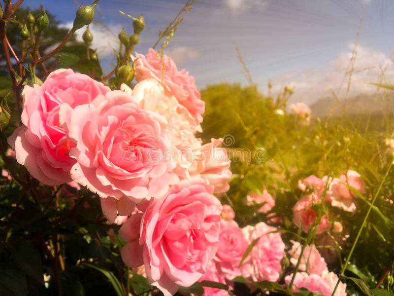 五颜六色的桃红色玫瑰在有蓝天的庭院和云彩背景和金子在早晨背景中点燃 图库摄影