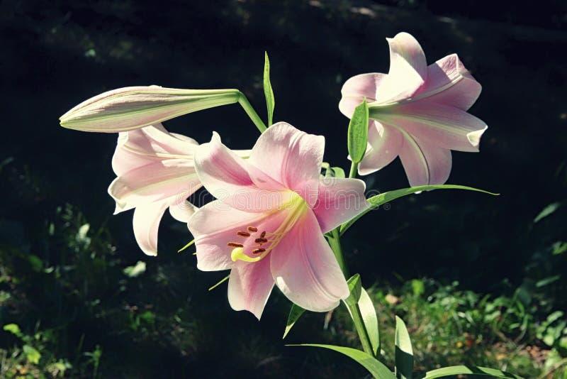 五颜六色的桃红色百合极端接近的三朵花反对绿色草坪背景的在庭院里 免版税库存图片