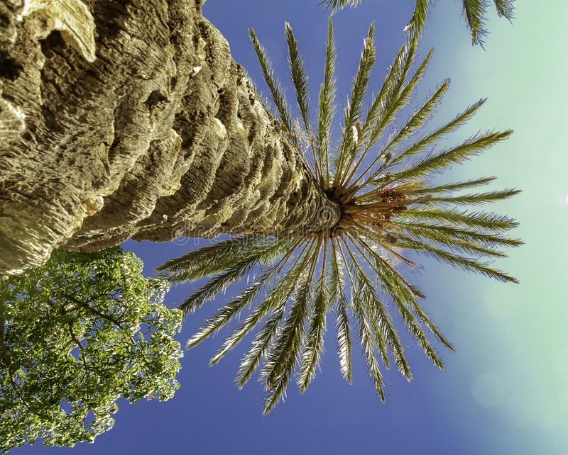 五颜六色的棕榈到达高的日期树和果子入深天空蔚蓝在西西里岛 库存照片