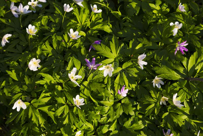 五颜六色的森林银莲花属地毯  免版税图库摄影