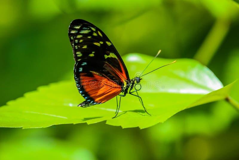 五颜六色的橙色和黑蝴蝶 免版税库存照片