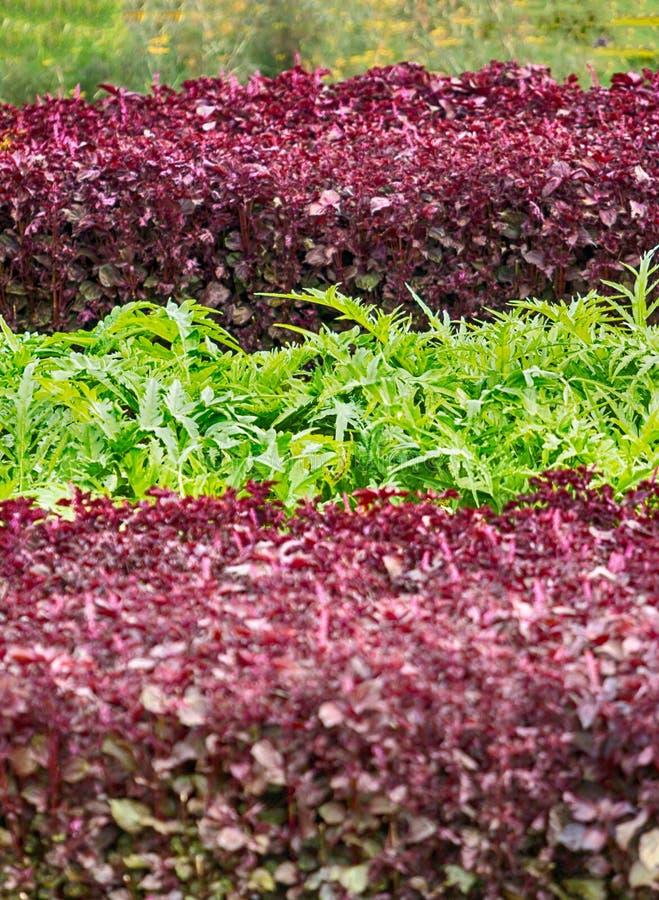 五颜六色的沙拉叶子在科隆比耶尔菜园里 沙拉红色,绿线在大别墅de科隆比耶尔,卢瓦尔谷,法国的 库存图片